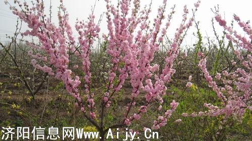 看看垛石镇胜源梨花文化节